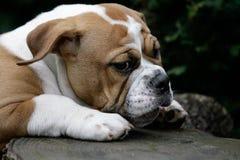 Continental bulldog puppy Royalty Free Stock Image