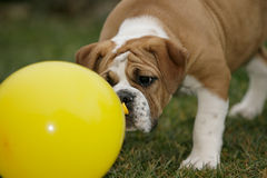 Continental bulldog puppy Stock Images