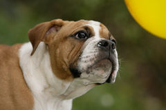 Continental bulldog puppy Royalty Free Stock Photo