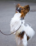 Continental Toy Spaniel Royalty Free Stock Photo