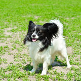 Continental toy spaniel Royalty Free Stock Photos