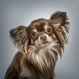 Continental Toy Spaniel portrait against grey background. Continental Toy Spaniel portrait on grey background royalty free stock image