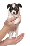 Continental toy spaniel puppy in hand Stock Images