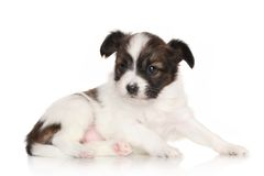 Continental toy spaniel puppy Royalty Free Stock Images