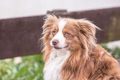 Continentale Toy Spaniel-hond royalty-vrije stock fotografie