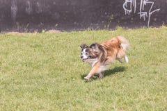 Continentale Toy Spaniel-hond die in België leven royalty-vrije stock foto's