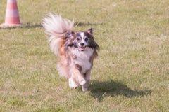 Continentale Toy Spaniel-hond die in België leven stock foto