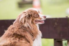 Continentale Toy Spaniel-hond die in België leven royalty-vrije stock afbeeldingen