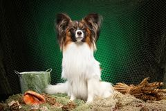 Continentale Toy Spaniel-hond op donkergroene achtergrond stock fotografie