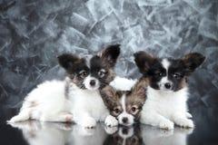 Continentale Toy Spaniel-hondpuppy op grijze achtergrond stock afbeeldingen