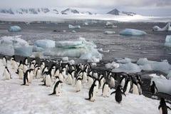 Continente antárctico - pinguins no console de Paulet Imagens de Stock
