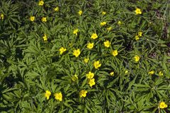 Continuous carpet of buttercups. Background - a solid carpet of buttercups, illuminated by the sun stock image