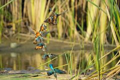 Common Kingfisher. The continuous movement of Common Kingfisher fishing. Scientific name: Alcedo atthis Stock Image