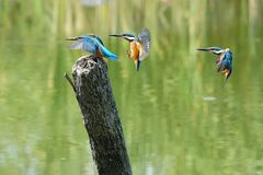 Common Kingfisher Stock Images