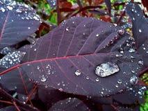 Continus Coggygria/roxo real/árvore de fumo 2 Foto de Stock Royalty Free