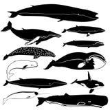 Contorni delle balene Fotografia Stock Libera da Diritti