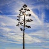 Contornos de la flor del agavo Fotos de archivo