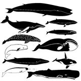 Contornos de las ballenas Foto de archivo libre de regalías