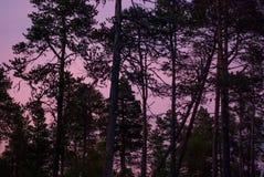 Contornos de los árboles de pino en puesta del sol Foto de archivo libre de regalías