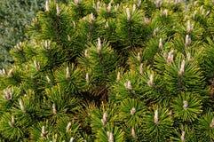 Contorta del pinus, con el pino de lodgepole com?n de los nombres y el pino de orilla, y tambi?n conocido como pino torcido, y pi foto de archivo libre de regalías