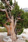 Contorted Tree Growing in Granite. Contorted trees grow through granite rock in California's Yosemite National Park stock photos