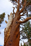 Contorted Tree - Yosemite Royalty Free Stock Photography