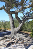 Contorted Twisted Limbs of a Live Oak on a Barrier Island Stock Images