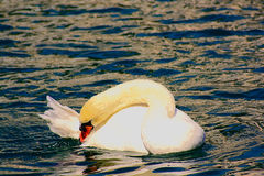 Contortionist Swan on Lake. Swan taking a bath on Lake in Luzern Switzerland Stock Photos
