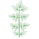 Contour d'une plante verte Images stock