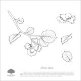 Contour drawing hazelnut branches . Nut and hazelnut leaf Royalty Free Stock Photos