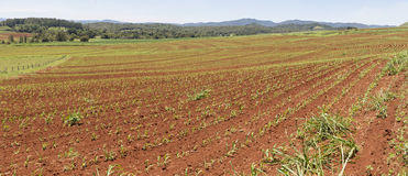 Contour planed sugar cane. Atherton Tableland, Far North Queensland. Panoramic view of recently planted sugar cane in the deep red soil of the Atherton Stock Photos