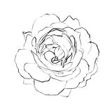 Contour of rose. Stock Images