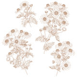 Contour Wild Chamomile Bunches Set. Royalty Free Stock Images