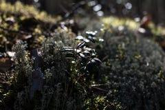 Contourbeeld van bladeren van wilde bessen royalty-vrije stock fotografie