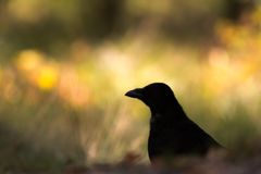 Contours of a crow in the field. The contours of a black crow in the field and a yellow background Stock Photography