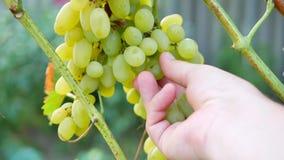 Contrôle de main du ` s d'agriculteur des raisins blancs mûrs clips vidéos