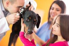 Contrôle d'audition de grand chien fait dans l'infirmerie de vétérinaire Photo stock