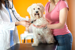 Contrôle de respiration de chien maltais dans la clinique de vétérinaire image stock