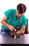 Contrôlez examiner un beau chien de chiwawa avec un stéthoscope photographie stock libre de droits