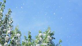 Contra o céu azul, o grande, álamo verde ramifica, coberto densamente com os pacotes de fluff Luz, fluff do álamo branco vídeos de arquivo
