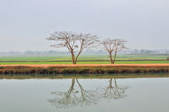 Contract between two trees Tay Ninh Viet Nam Royalty Free Stock Photography