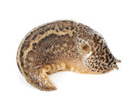 Contracted Limax maximus - leopard slug Royalty Free Stock Photos