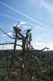 Contrails über einem defekten Baum hinaus Stockfotografie