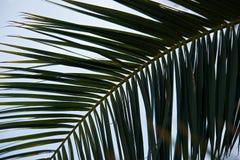 Contraluz cercano para arriba de una rama de la palma imagenes de archivo