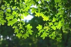 Contraluz verde de las hojas de arce Fotos de archivo libres de regalías