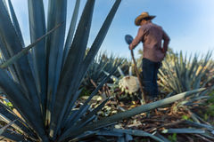 Contrapicada of peasant cutting agave Royalty Free Stock Photo