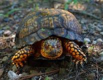 Contrappeso della tartaruga Immagine Stock
