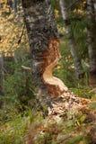 Contrassegno del castoro Fotografia Stock Libera da Diritti