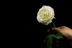 Contrasté de noir et blanc de la main tenant la rose blanche sur le fond noir Photo libre de droits