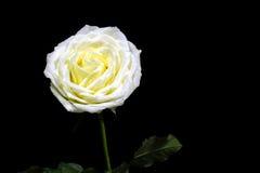 Contrasté de noir et blanc de la rose blanche sur le fond noir Photographie stock